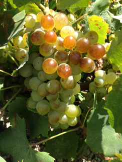 ripe assyrtiko grapes
